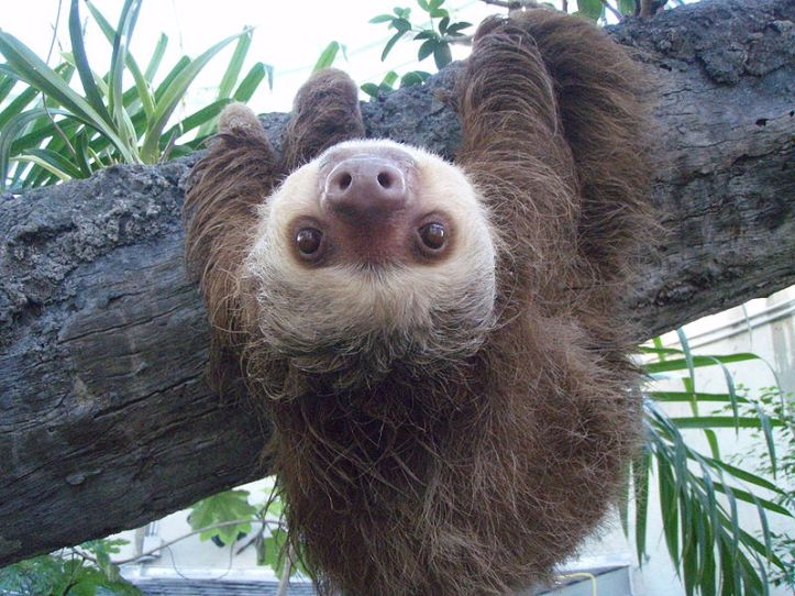 sloth1